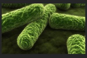 E Coli Bakterien